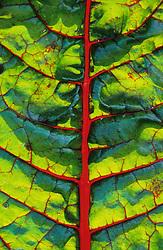 Backlit leaf of Ruby chard