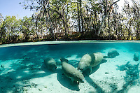 Florida manatee, Trichechus manatus latirostris, a subspecies of the West Indian manatee, endangered. Manatees swim, socialize and rest near a warm blue freshwater springhead. That is a younger calf in the foreground being nuzzled. A boardwalk or viewing platform is nestled amongst the numerous trees. Horizontal orientation split image with strong sun and shadows. Three Sisters Springs, Crystal River National Wildlife Refuge, Kings Bay, Crystal River, Citrus County, Florida USA.