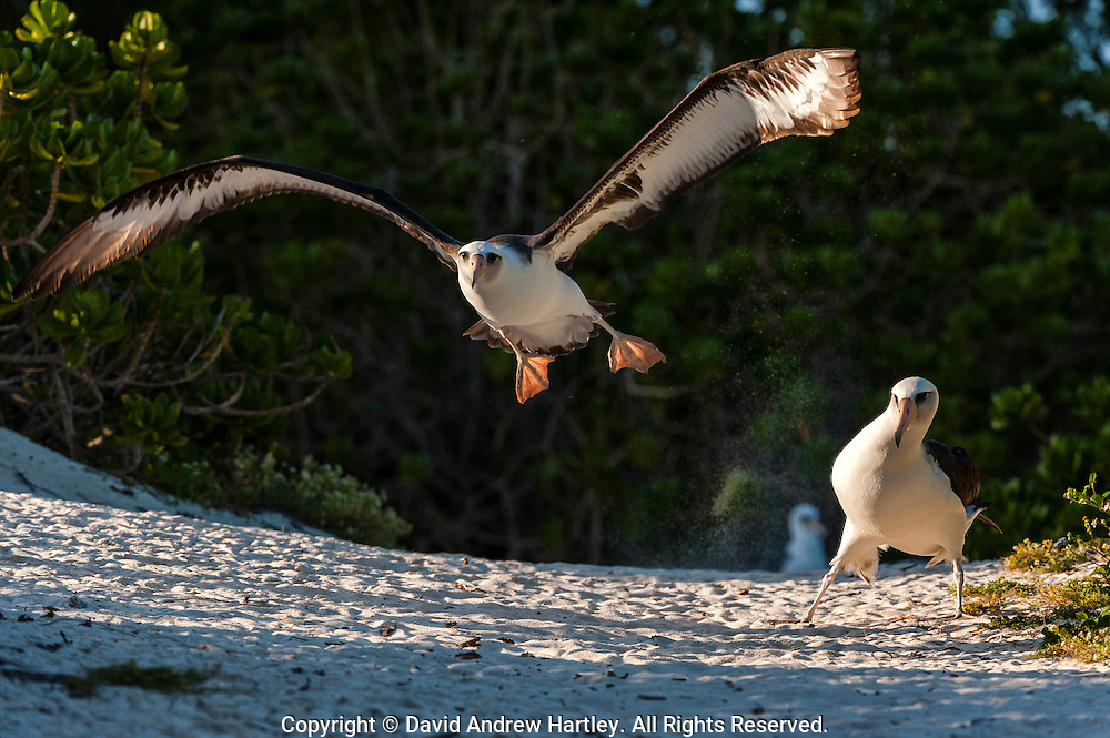 A Laysan Albatross (Phoebastria immutabilis)  just misses another Albatross as it takes flight, Midway Atoll National Wildlife Refuge.