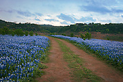 Drought turned a Colorado River tributary into a bluebonnet meadow