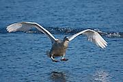 Juvenile Mute Swan landing at Shapwick Heath