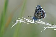 Common Blue Butterfly (Polyommatus ivarus) resting on grass stem, Oxfordshire, UK.
