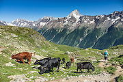 Hikers bypass black cattle near the trail. In the alpine meadows of Lötschental above Lauchernalp gondola lift station, see the Bietschhorn (3934 m/12,907 ft) in canton Valais/Wallis, Switzerland, the Alps, Europe. The northeast and southern slopes of the Bietschhorn are in Jungfrau-Aletsch Protected Area, a UNESCO World Heritage Site. Kandersteg is a great base for hiking: an epic hike from Selden in Bern canton traverses Lötsch glacier and Lötschenpass (Lötschepass) to neighboring Lötschental in Valais canton; hiking poles are recommended for snow and rocks. The walk starts with a reserved Postbus ride from Kandersteg to Selden (in Gasterntal / Gasteretal / Gasterental), climbs 1350 meters, descends 925 m, and ends 13 km later at Lauchernalp lift station, which descends to Wiler in Lötschental, to reach Goppenstein via Postbus, back to Kandersteg via train. You can also reverse the route or stay overnight in dorms at Lötschepass hut.