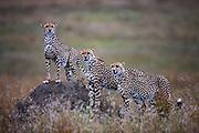 Three male cheetahs ( Acinonyx jubatus ) in a coalition standing on a termite mound, Masai Mara, Kenya