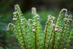 Unfurling Soft shield fern. Polystichum setiferum