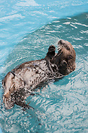 The sea otter named Bishop. On New Year's Day the Alaska SeaLife Center's Wildlife Response Team rescued a otter pup on Bishop's Beach, in Homer. He was in a bad shape at the time and is now recovered and grown up. Seward, Alaska, USA<br /> <br /> The Alaska SeaLife Center, Seward, Alaska, USA<br /> <br /> Photographer: Christina Sjögren<br /> <br /> Copyright 2019, All Rights Reserved