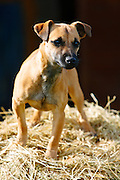 Jack Russell cross Patterdale terrier puppy on a bed of hay, England, United Kingdom