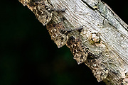 Proboscis bats or long-nosed bats (Rhynchonycteris naso) resting on a tree trunk. Photographed in Costa Rica.