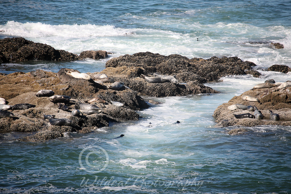 Seals at Strawberry Hill