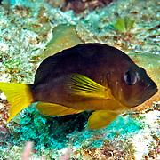 Hybrid Hamlet inhabit reefs in Tropical West Atlantic; picture taken Grand Turk.