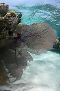 Venus Sea Fan (Gorgonia flabellum)<br /> Lighthouse Reef Atoll<br /> Belize<br /> Central America