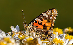 Adult Vanessa virginiensis feed on nectar almost exclusively, including dogbane, aster, goldenrod, marigold, selfheal, common milkweed, and vetch.