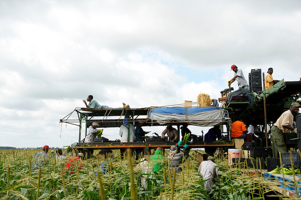 As one worker savors a soda in the sun, a group of migrants thresh corn, thought to be Haitian immigrants, with a makeshift multi-tiered platform contraption in fields outside Homestead, Florida on February 8, 2013.
