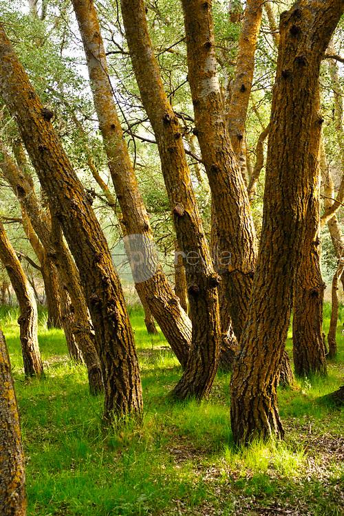 Troncos de álamo blanco (Populus alba). Higueruela. Albacete ©ANTONIO REAL HURTADO / PILAR REVILLA