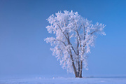 Hoarfrost covered Plains cottonwood tree<br />Dugald<br />Manitoba<br />Canada