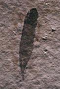 """A year before The Berlin Specimen of Archaeopteryx was found this fossil feather was found in the Solnhofen Limestone Quarry in Bavaria.  One year after Darwin wrote """"On the Origin of Species."""""""