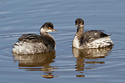 Pair of Eared Grebes.(Podiceps nigricollis).Back Bay Reserve,California.