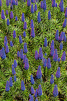 California lupines, Carmel, Monterey County, California USA