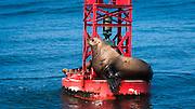 Steller sea lion (Eumetopias jubatus) on harbor buoy, Ventura, California USA