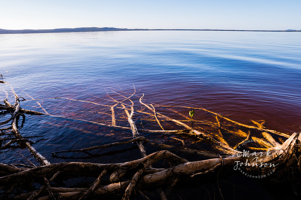 Paperbark tree roots submerged in the calm and tranquil Lake Cootharaba, Elanda Point, Queensland, Australia