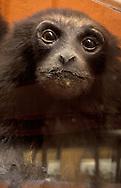 Primate on display at the Fairbanks Museum & Planetarium in St. Johnsbury, Vermont.