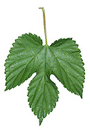 HOP Humulus lupulus (Cannabaceae) Height to 6m. Twining, hairy hedgerow climber. Grows on a range of soils and often a relict of cultivation. FLOWERS are clustered and greenish yellow (male) or green and hop-like (female) (Jun-Aug). FRUITS are familiar hops that ripen brown in autumn. LEAVES are divided into 3-5 coarse-toothed lobes. STATUS-Widespread, locally common only in S.