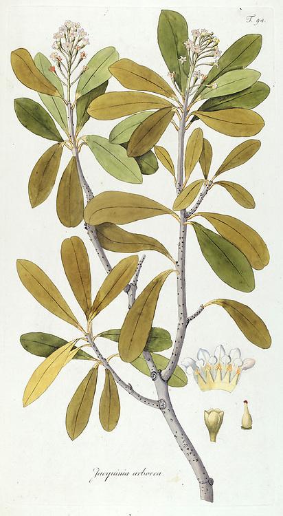 Hand painted botanical study ofa Jacquinia arborea tree anatomy from Fragmenta Botanica by Nikolaus Joseph Freiherr von Jacquin or Baron Nikolaus von Jacquin (printed in Vienna in 1809)