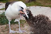 Laysan albatross, Phoebastria immutabilis, regurgitates a squid or octopus to feed chick, Sand Island, Midway Atoll, Midway National Wildlife Refuge, Papahanaumokuakea Marine National Monument, Northwest Hawaiian Islands, USA ( North Pacific Ocean )