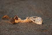 Bones of Cape fur seal (Arctocephalus pusillus pusillus) Sperrgebiet National Park, Namibia | Kap-Pelzrobbe (Arctocephalus pusillus pusillus), auch Südafrikanischer Seebär genannt. Sperrgebiet National Park, Namibia