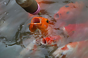 HEFEI, CHINA - AUGUST 20: (CHINA OUT) <br /> <br /> Tourist feed Fish via mini Baby Milk Bottle <br /> <br /> People feed baby fish with liquid fish food inside the bottles at Xiaoyaojin Park on August 20, 2015 in Hefei, Anhui Province of China. Feeding fish with bottles attracted many tourists, parents and kids to feed their aquatic friends in the park.<br /> ©Exclusivepix Media