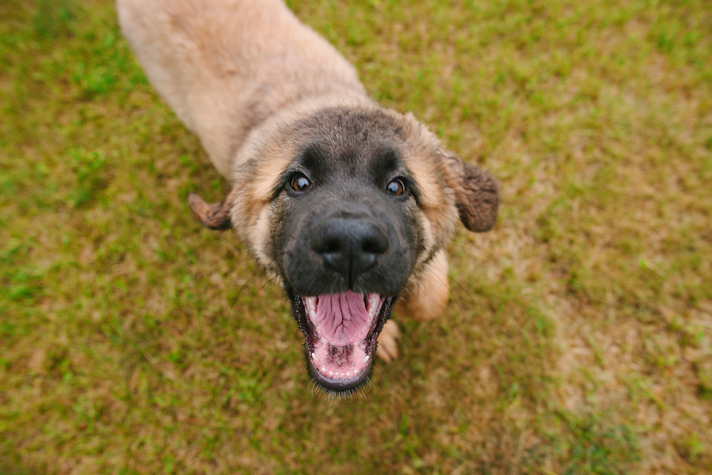 Happy leonberger puppy running after the camera with her mouth open