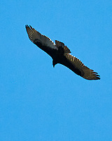 Turkey Vulture (Cathartes aura). St. Petersburg, Florida. Image taken with a Nikon D300 camera and 200 mm f/2.0 VR lens.