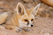 Rueppell's fox and also called the sand fox (Vulpes rueppellii). is a species of fox living in North Africa, the Middle East, and southwestern Asia. It is named after the German naturalist Eduard Rüppell. Photographed in Israel