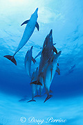 Atlantic spotted dolphins, Stenella frontalis, Little Bahama Bank, Bahamas ( Western Atlantic Ocean )