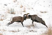 Tours: Battling Bighorns