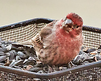 House Finch (Haemorhous mexicanus). Image taken with a Nikon N1V3 camera and 70-300 mm VR lens.