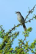 Tropical Mockingbird (Mimus gilvus)<br /> BONAIRE, Netherlands Antilles, Caribbean<br /> HABITAT & DISTRIBUTION:<br /> Florida, Bahamas, Caribbean, Gulf of Mexico south to Brazil.