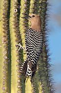 Gila Woodpecker - Melanerpes uropygialis - female