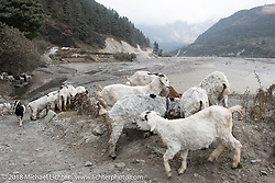 Sheep on the road on day-5  of our Himalayan Heroes adventure riding from Kalopani through the Mustang District to our highest elevation of the trip at over 12,000' when we reached Muktinath, Nepal. Saturday, November 10, 2018. Photography ©2018 Michael Lichter.