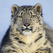 Snow Leopard (Panthera uncia) inhabits the Himalaya Mountains in Asia. Captive Animal