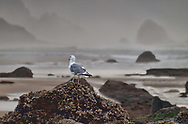 A seagull stands on a barnacle covered rock and looks out upon the very foggy sea.