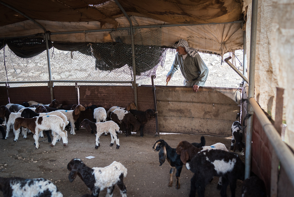 6 October 2018, Jordan Valley, West Bank, Occupied Palestinian Territories: Shepherd Abu Okab tends to his sheep in the Jordan Valley on the West Bank. Ecumenical Accompaniers from the World Council of Churches Ecumenical Accompaniment Programme in Palestine in Israel accompany shepherds in many parts of the West Bank, providing an international presence known to have a mitigating effect on confrontations between Israeli settlers and the Palestinians. EAs' presence also helps Palestinians access lands they otherwise might not have dared to continue to cultivate. In the West Bank's Area C, any land that isn't cultivated for a period of three years becomes property of the state, the shepherds explain, so accessing their lands regularly is vital for the communities and their herds.