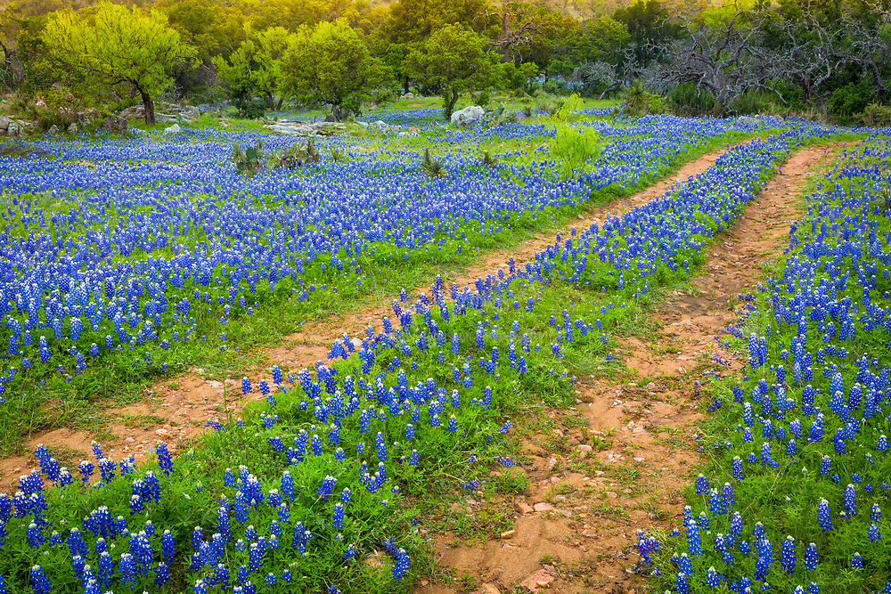 Old road and bluebonnets in the Texas Hill Country