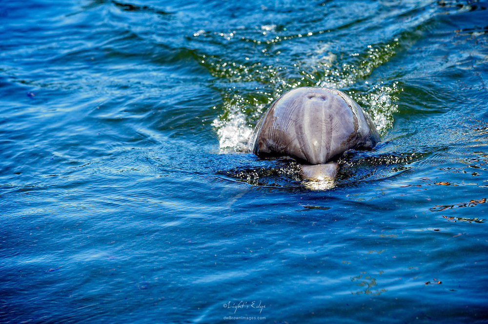 A dolphin at the Dolphin Research Center in Grassy Key, Florida streamlines through the water.