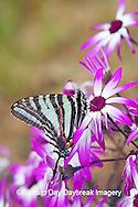 03006-002.03 Zebra Swallowtail (Eurytides marcellus) on Cineraria 'Senetti Magenta Bicolor' (Pericallis) Holmes Co. MS