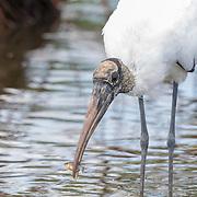 Wood stork(Mycteria americana) holds up fresh catch. Photographed at Merritt Island NWR on Florida's Atlantic coast.