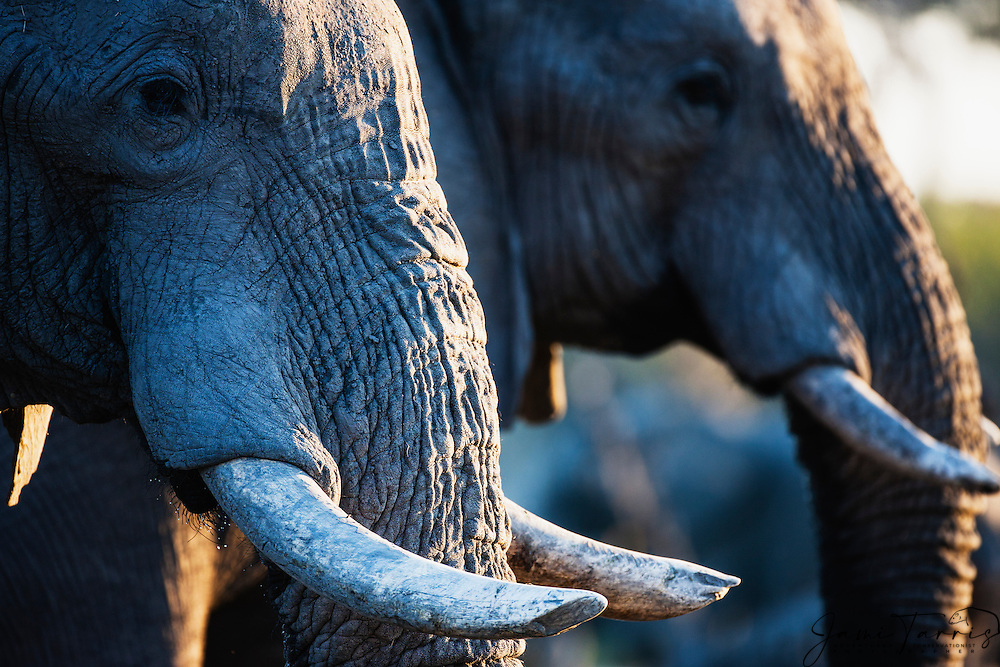 A portrait of two African elephant bull's trunks (Loxodonta africana) and ivory , Khwai River, Botswana,Africa