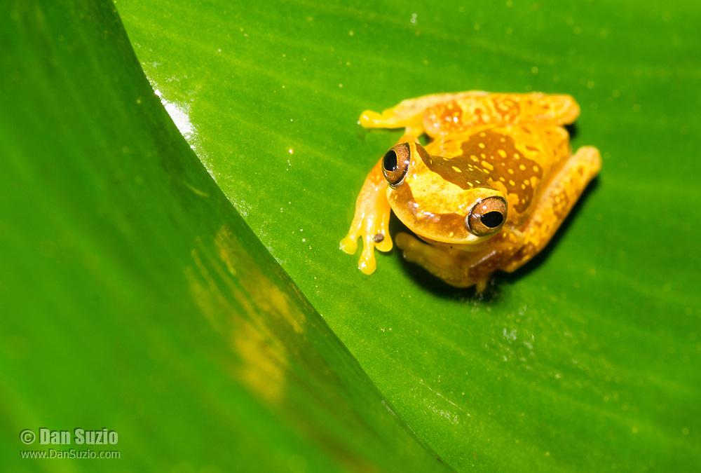 Hourglass Treefrog, Dendropsophus ebraccatus (formerly Hyla ebraccata), on a leaf near Arenal Volcano National Park, La Fortuna, Costa Rica. Also called the Harlequin Treefrog.