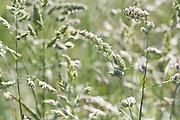 Flowering grasses on arable land, Dorset, UK.