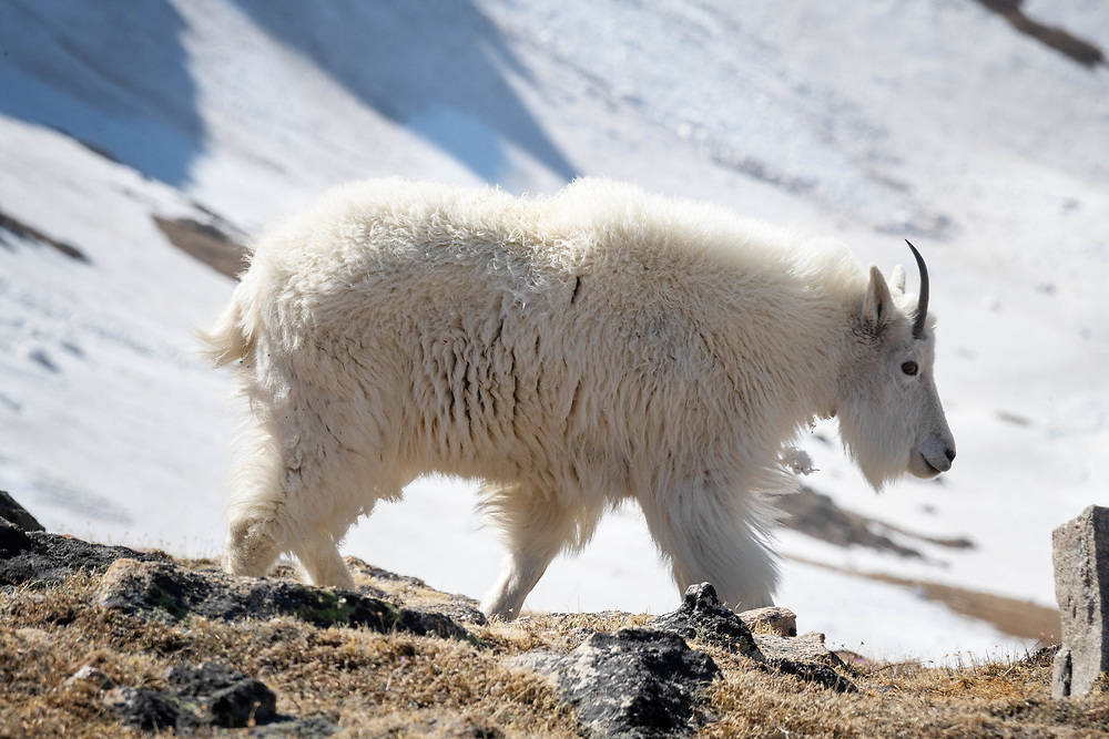 A Mountain goat walked among rock and grass in the Beartooth mountains